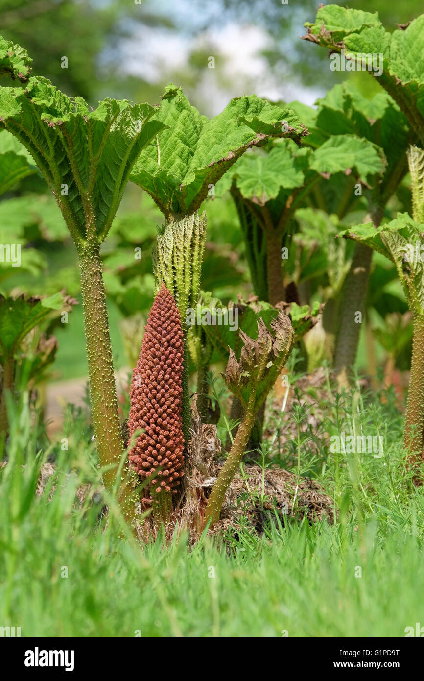 The giant leaves of Gunnera Tinctoria unfurl in late spring accompanied by red-brown flower stems Stock Photo