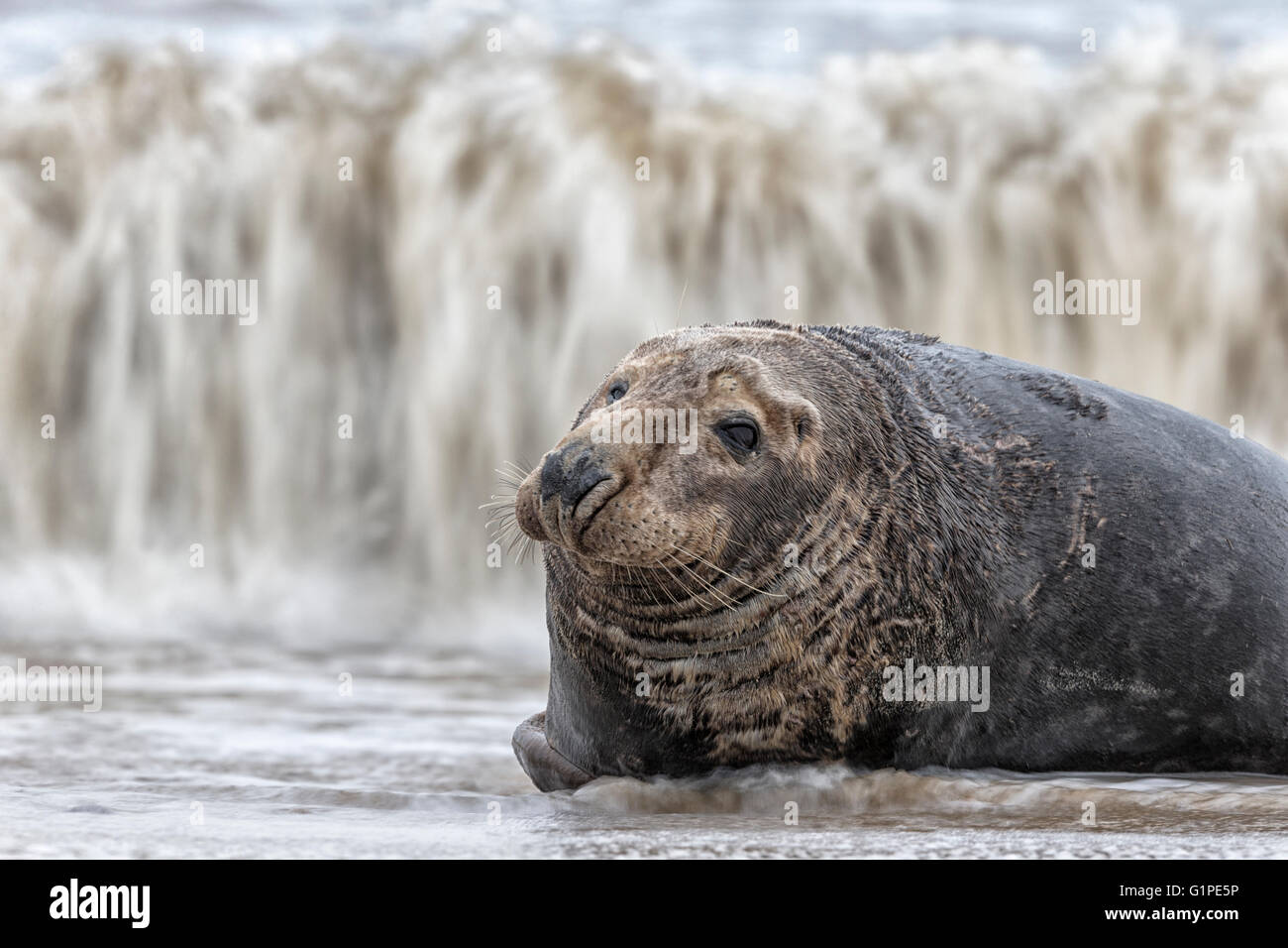 Atlantic Grey Seal - mature bull - Stock Image
