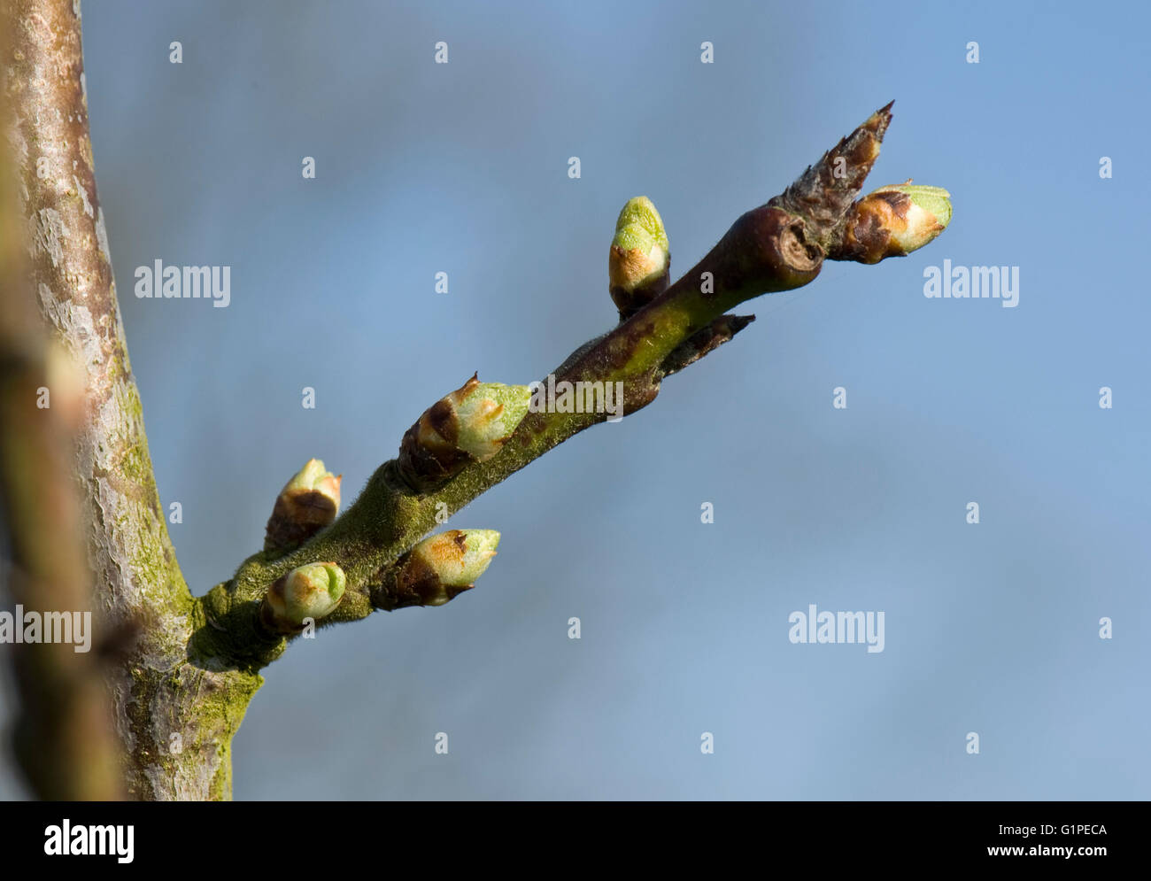 Swelling leaf and flower buds of a Victoria plum tree, Prunus domestica, in early spring, Berkshire, March - Stock Image