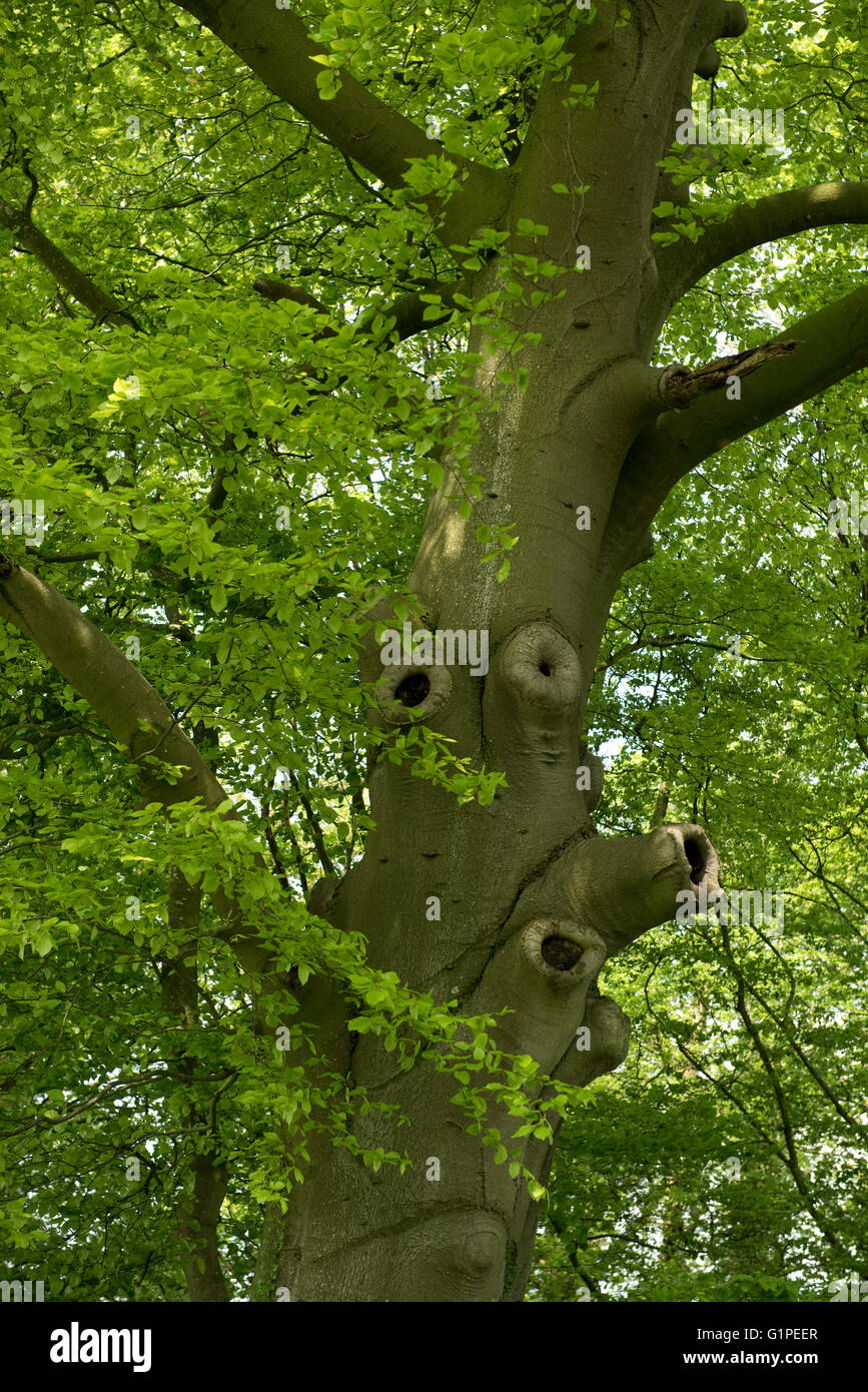 An old beech tree with young spring leaves and scarred holes formed where branches have been removed - Stock Image