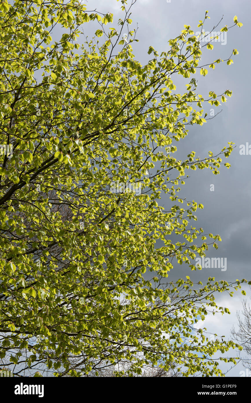 Young acid green, delicate and pendulous leaves of a beech tree against the sky, Berkshire, April - Stock Image