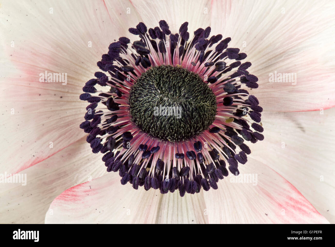 White flower tinged with pink of a poppy anemone, Anemone coranaria, with dark anthers and styles, May - Stock Image
