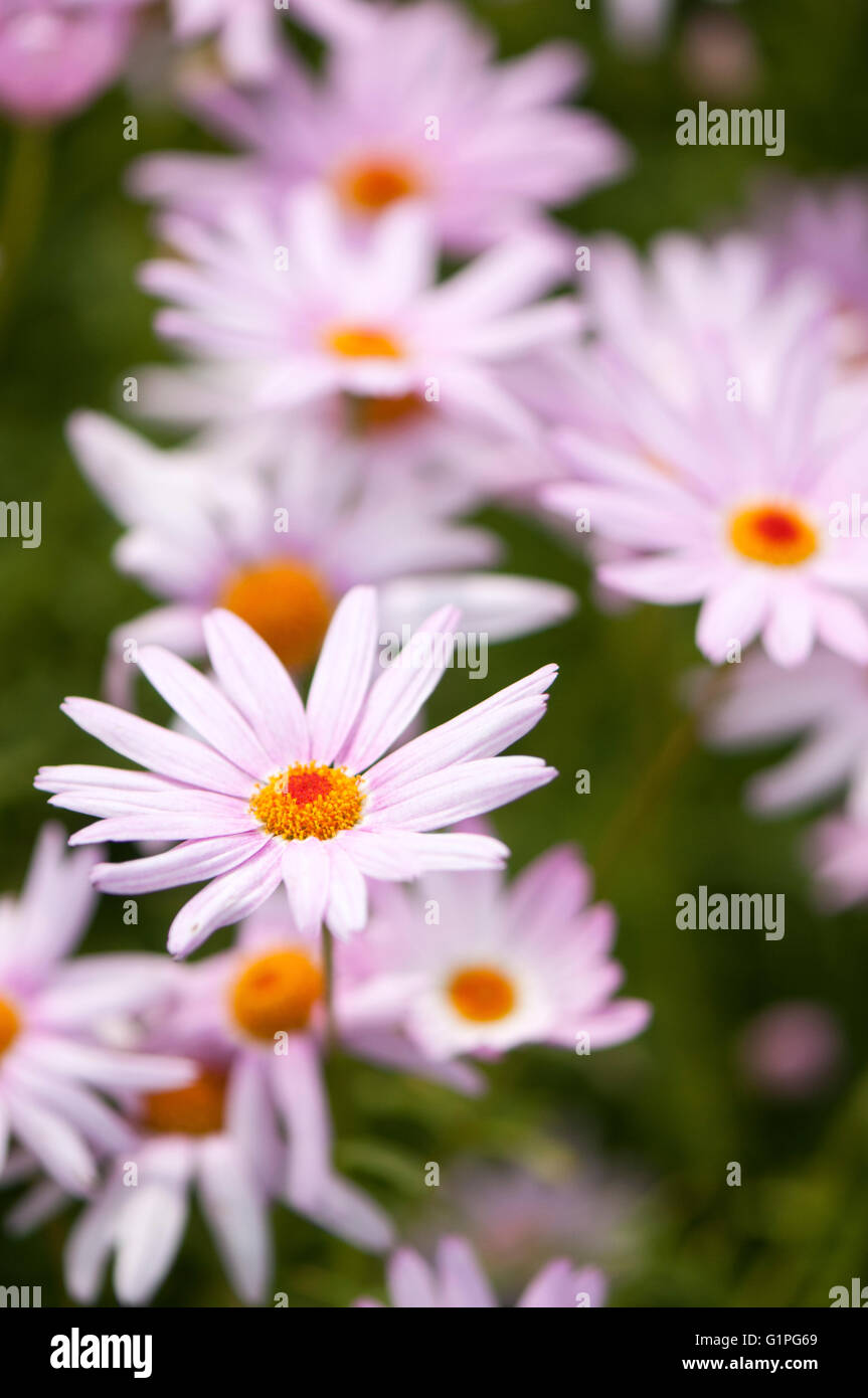 Pink daisy like flower stock photos pink daisy like flower stock closeup portrait image of many pale pink daisy like flowers with a soft izmirmasajfo