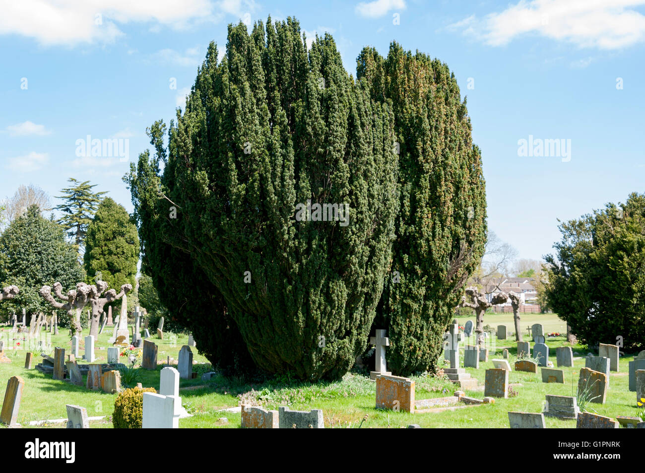 European Yew tree (Taxus baccata) in St Mary's churchyard, Church Road, Thame, Oxfordshire, England, United - Stock Image