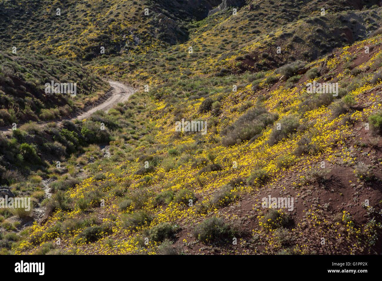 Wildflowers blooming in Death Valley - Stock Image