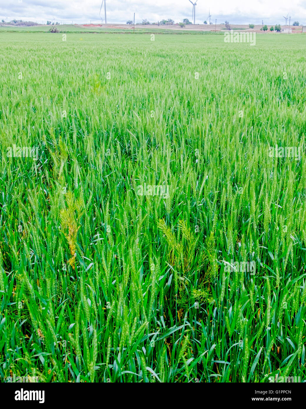 A green wheat field closeup showing weeds growing among the wheat. Oklahoma, USA. - Stock Image