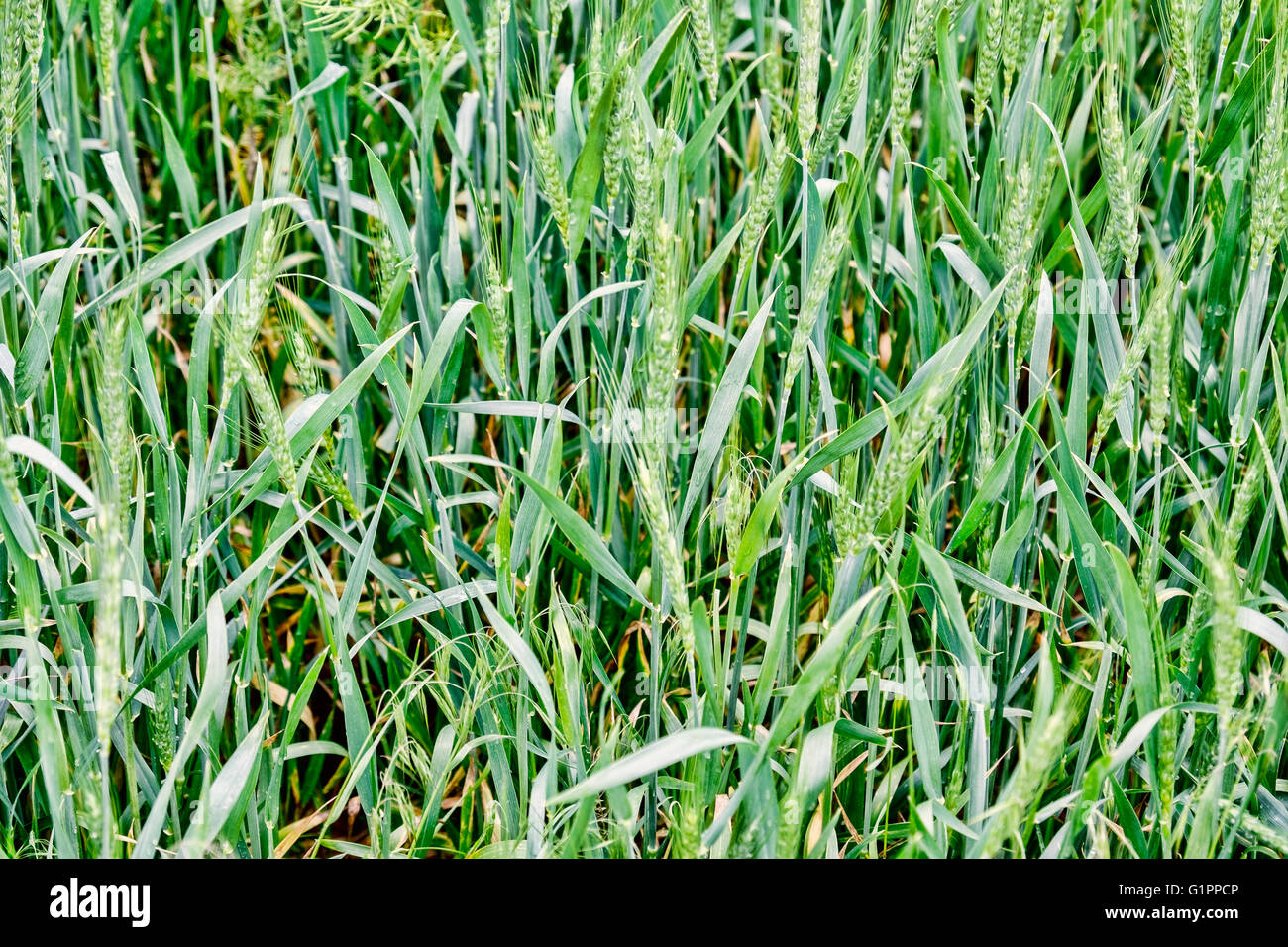 A closeup of a green wheatfield with the grain filling the heads. Closeup. - Stock Image