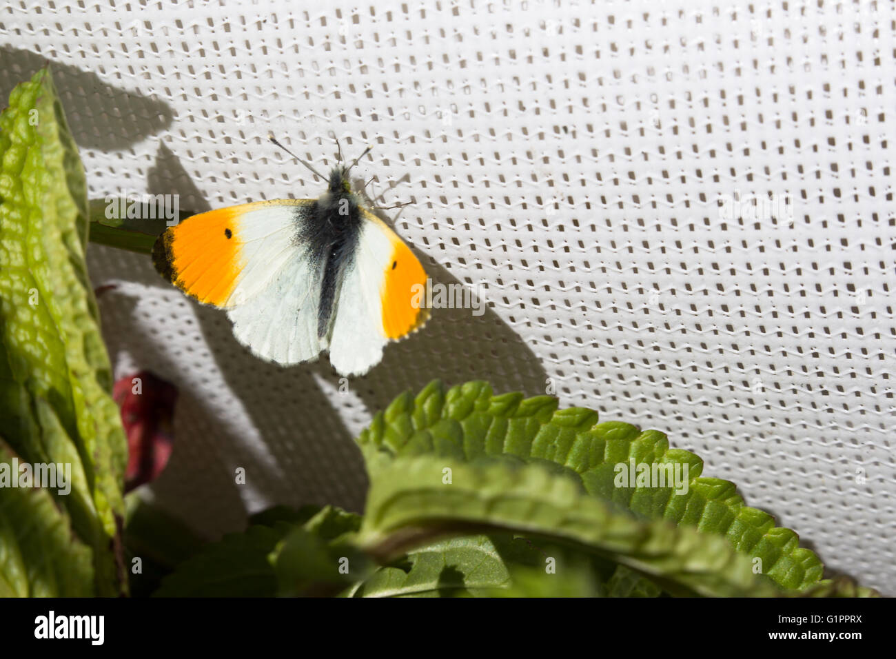 Orange Tip (male) butterfly, Anthocharis cardamines, resting on a cricket sunscreen at Durham, England. Stock Photo