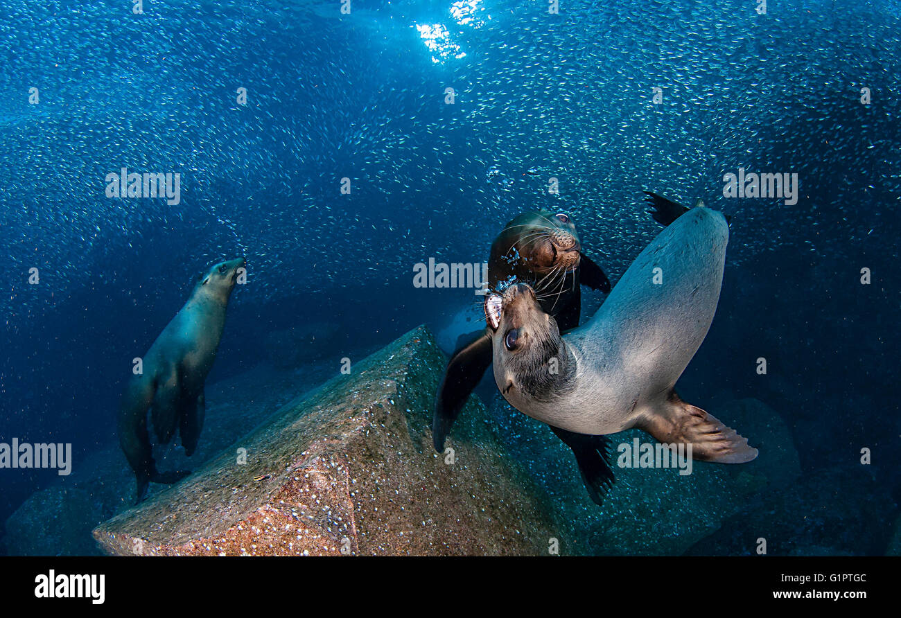 Underwater views of Californian sea lions, zalophus californianus, and bait fish in the Sea Of Cortes. - Stock Image