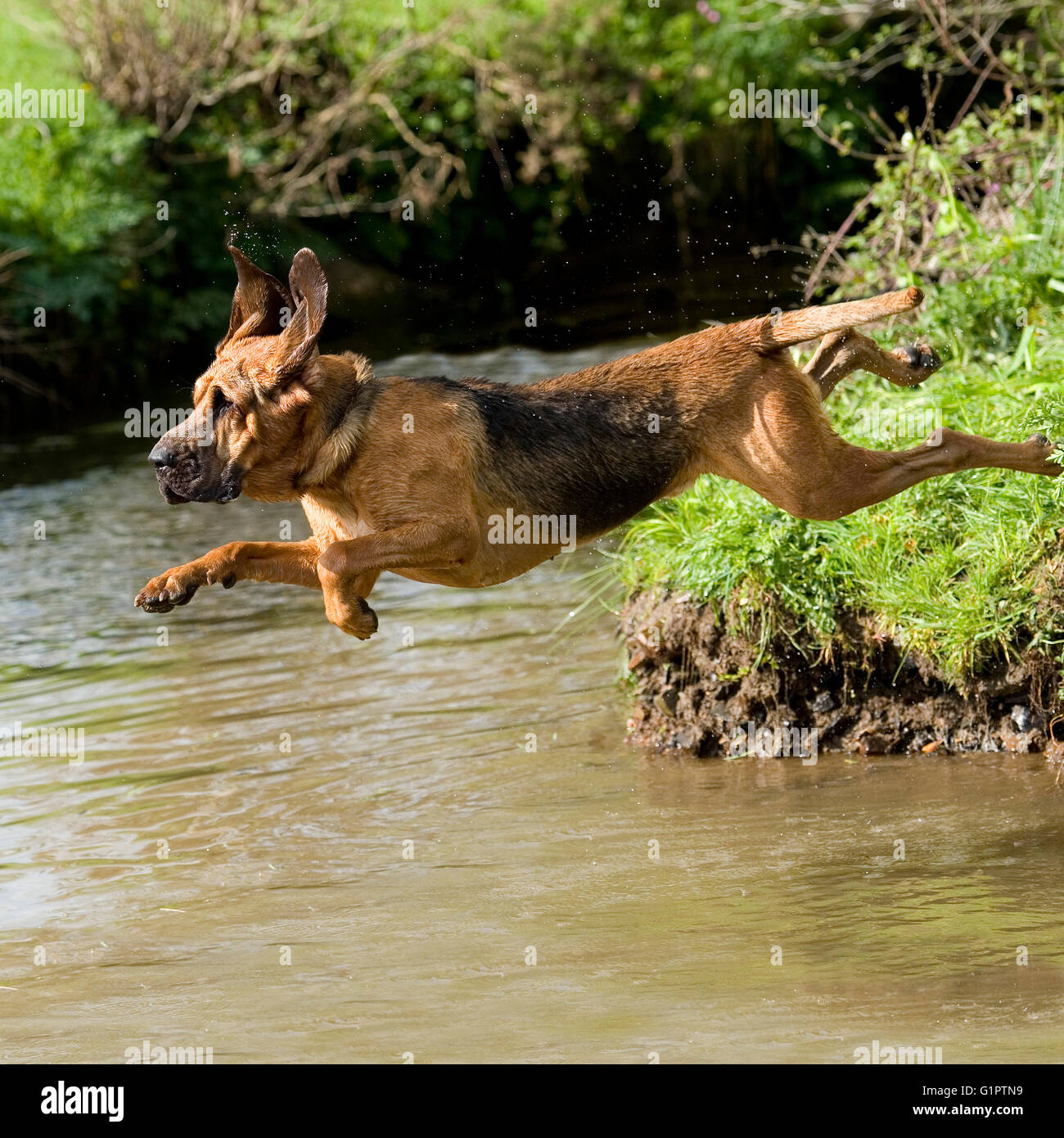 bloodhound leaping into lake - Stock Image
