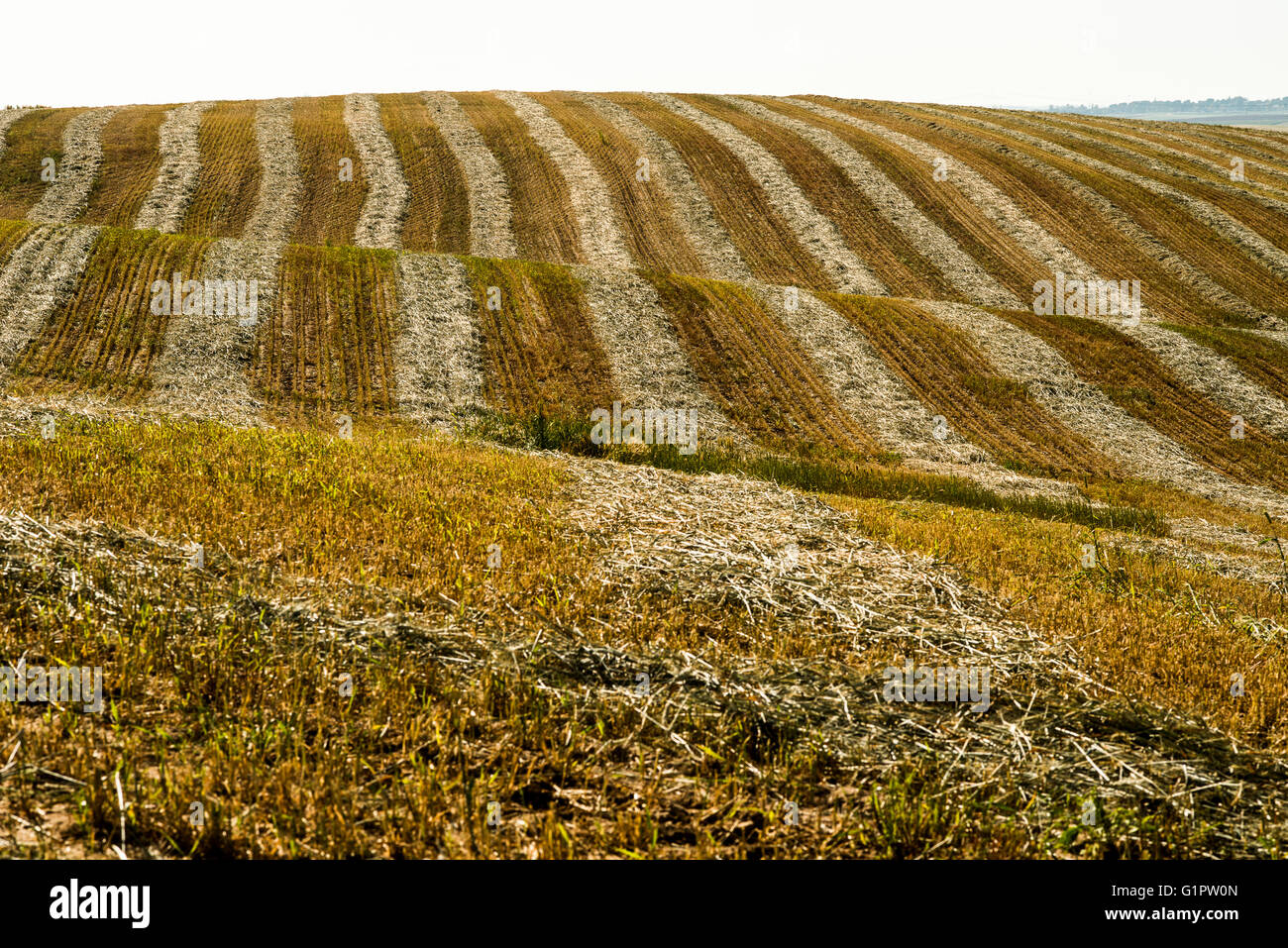 Desert agriculture. Harvested wheat field in the Negev Desert, Israel - Stock Image