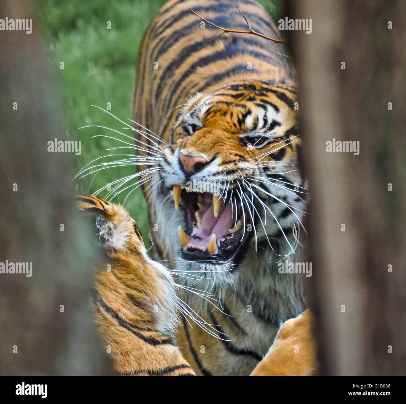 Male Sumatran tiger growling at his mate in London Zoo, UK. - Stock Image