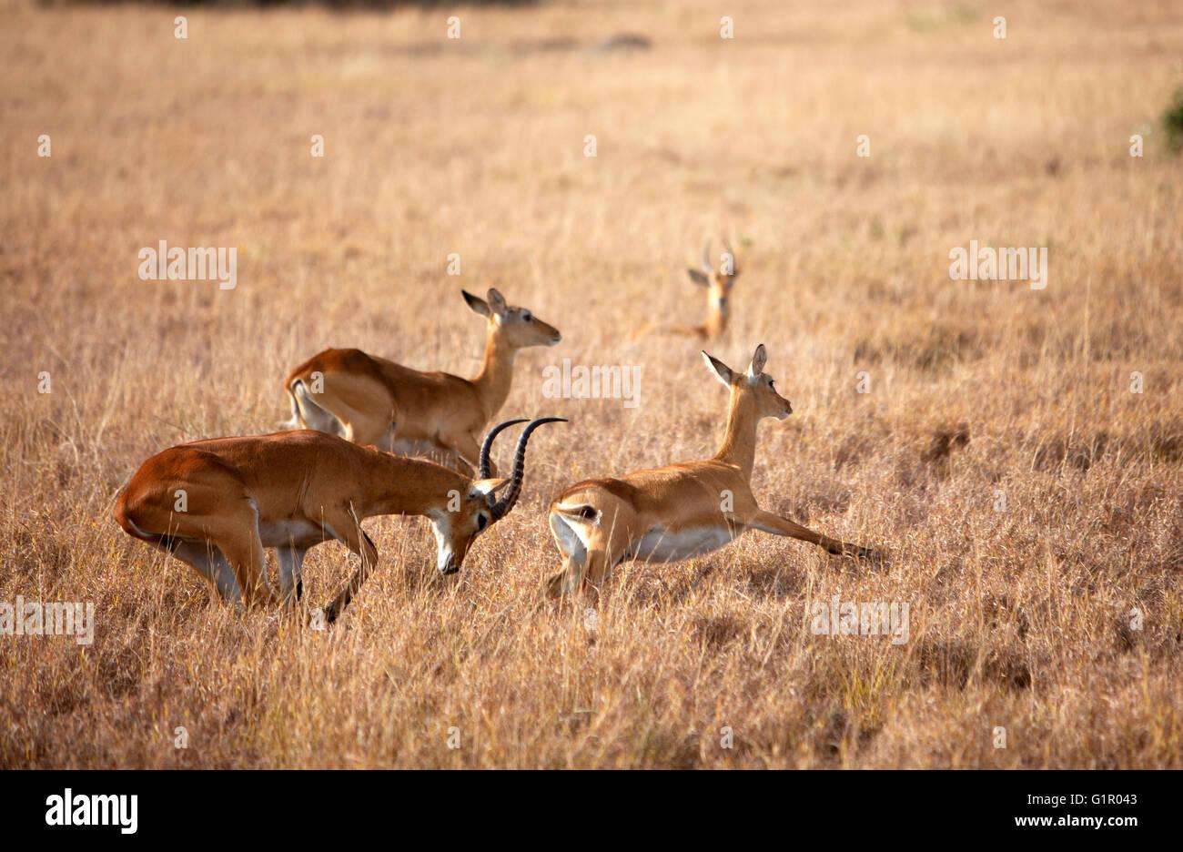 Photograph by © Jamie Callister. Ugandan Kob grazing in Queen Elizabeth National Park, Uganda, Central Africa, - Stock Image