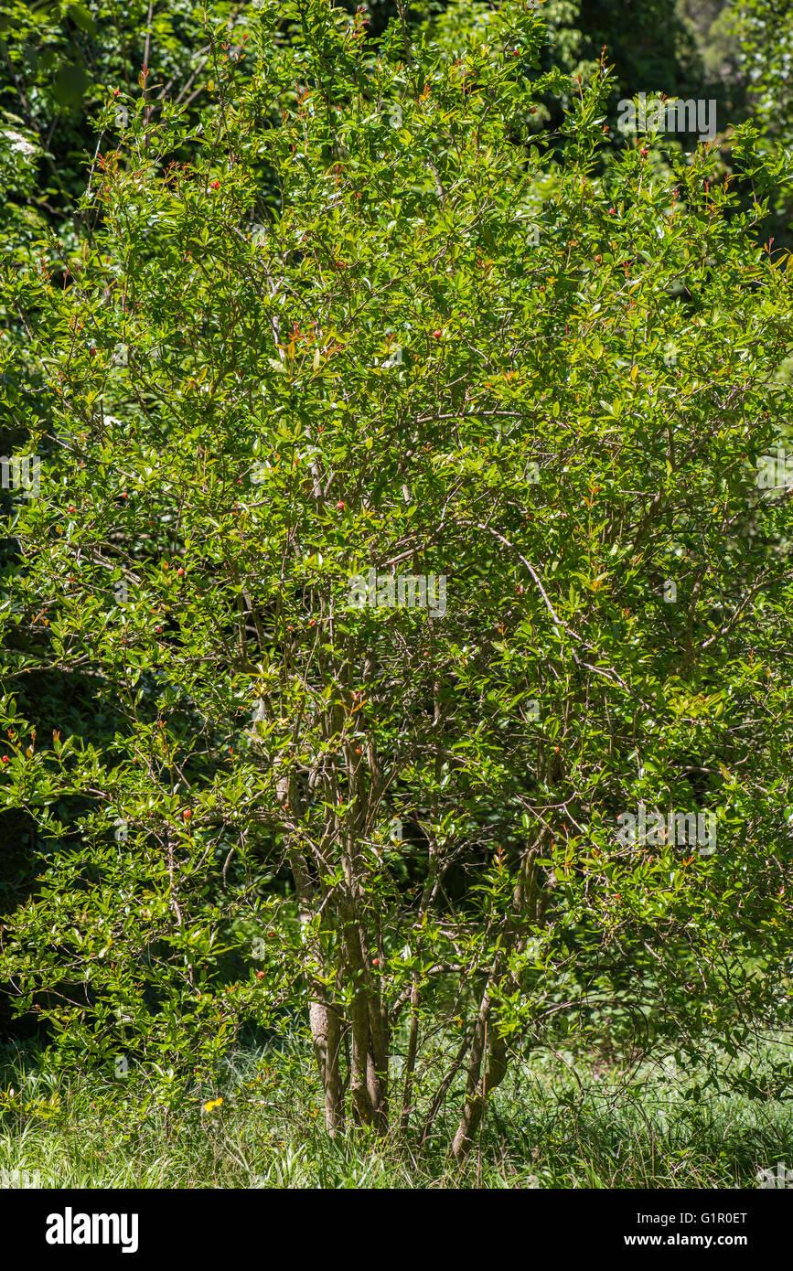 Arbuste Grenadier vaucluse Provence France 84 - Stock Image