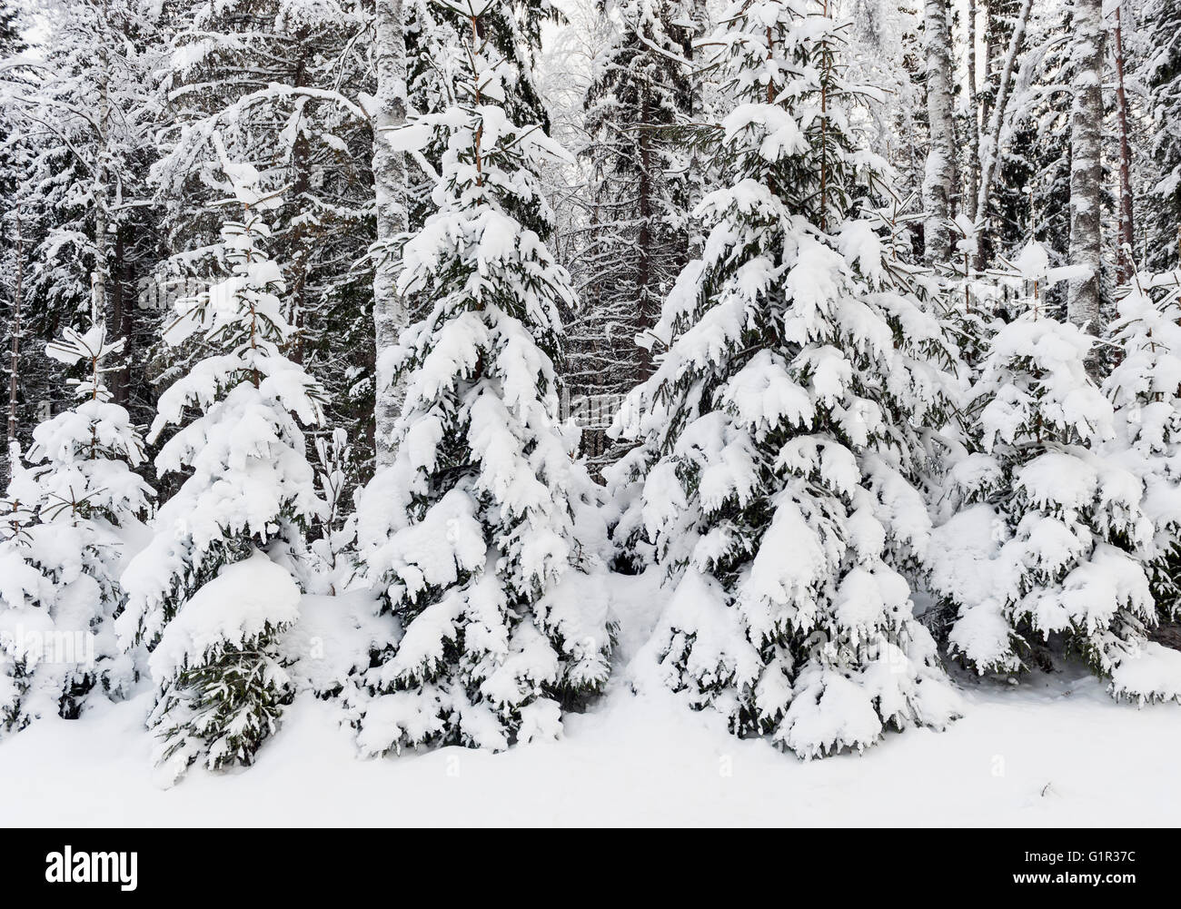 Snow-covered spruce forest, Sweden - Stock Image