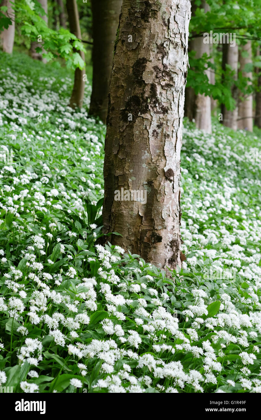 Wild garlic growing around a tree in Cumbria - Stock Image