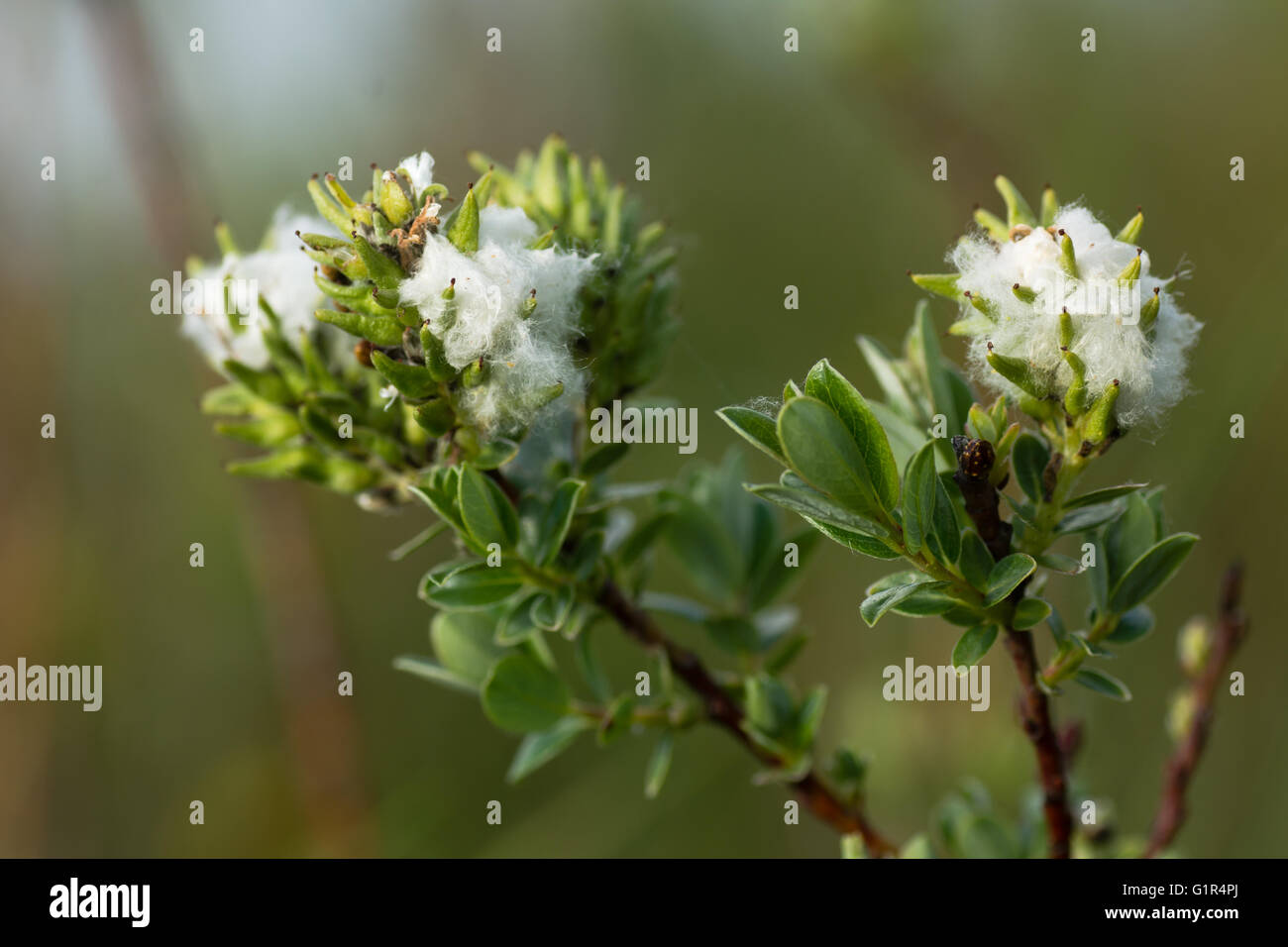 Creeping willow (Salix repens) female catkins. Downy fluff around finished flowers on low growing shrub  in family - Stock Image