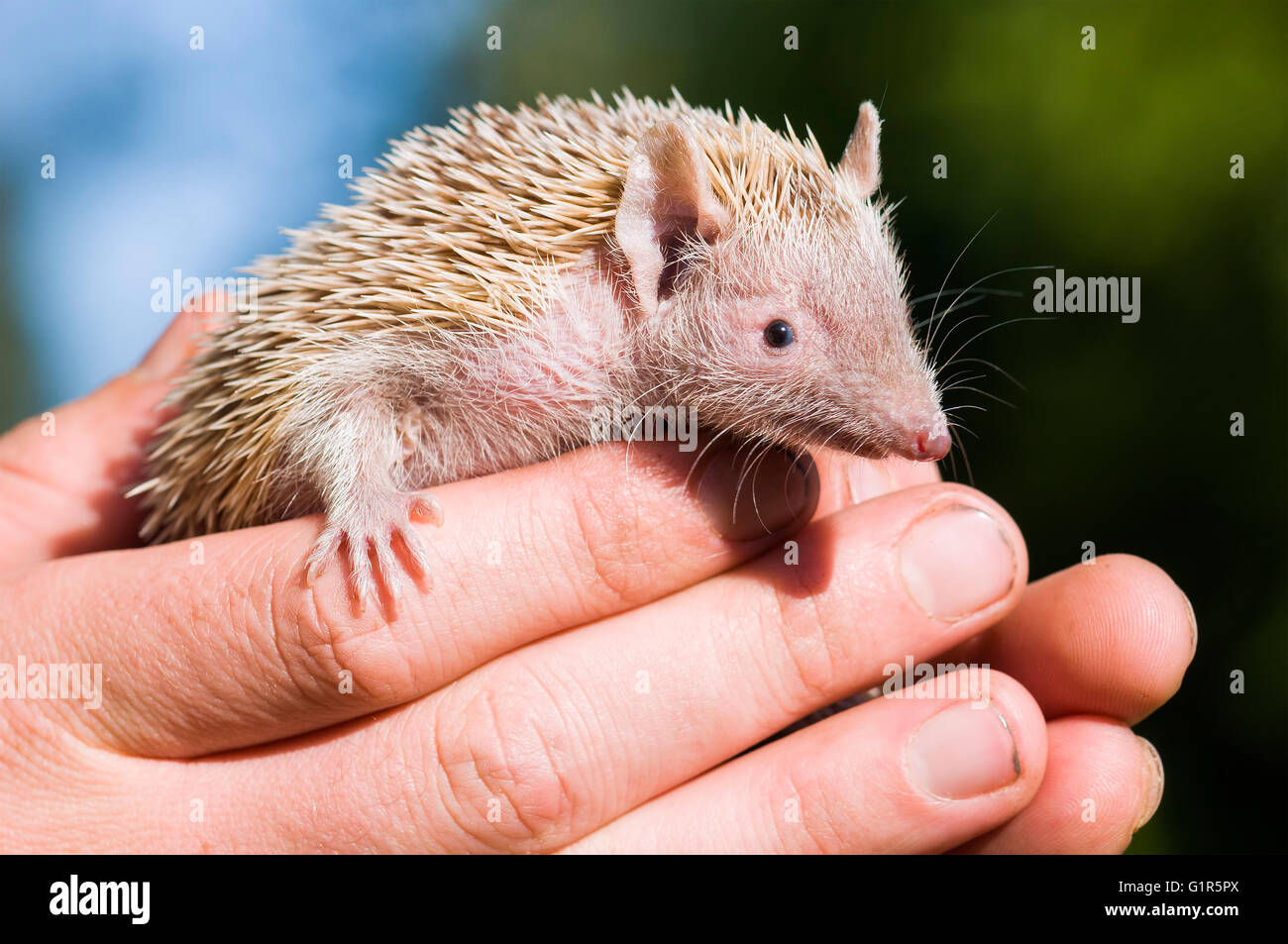 Tenrec Lesser Hedghog being held gently by Zoo Keeper Stock Photo