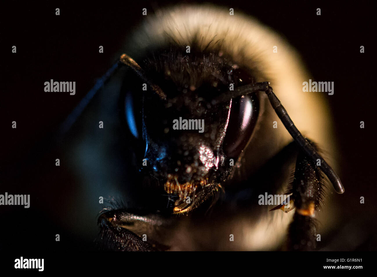 face of a bumblebee - Stock Image