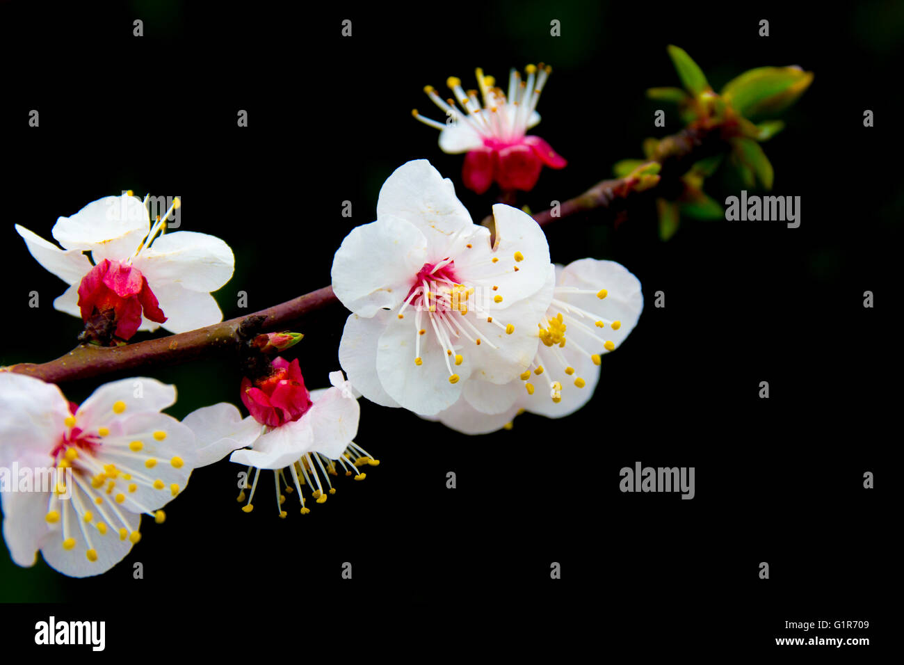 Apricot blooms on bare branch. Black background - Stock Image