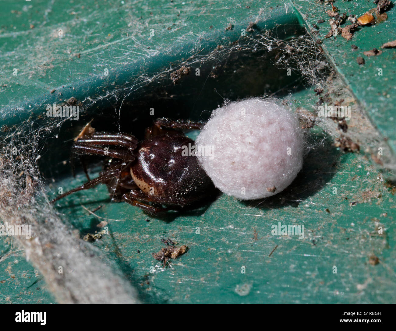 Spider with Egg Sac, UK - Stock Image