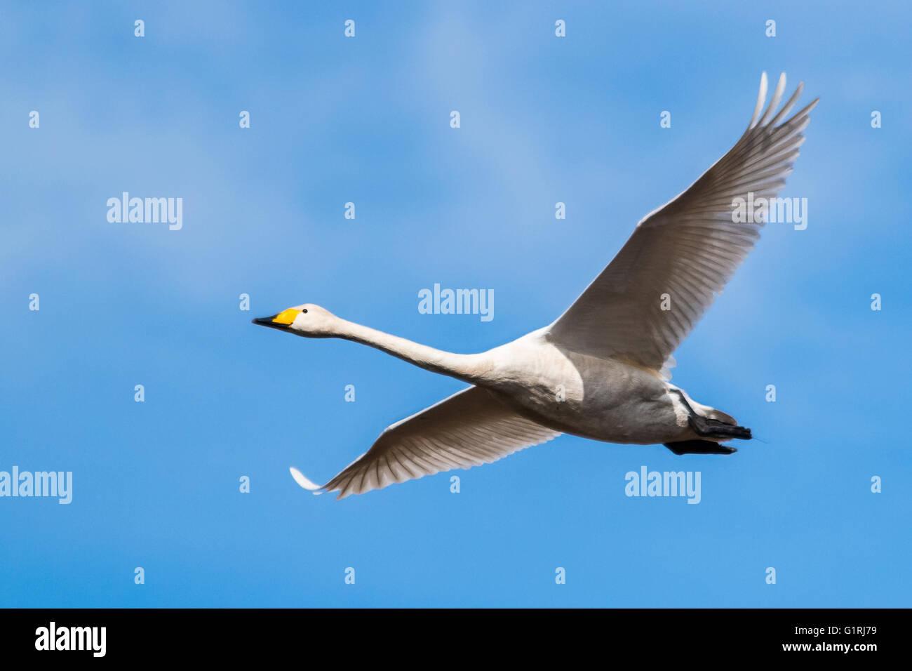 Whooper swan in flight - Stock Image