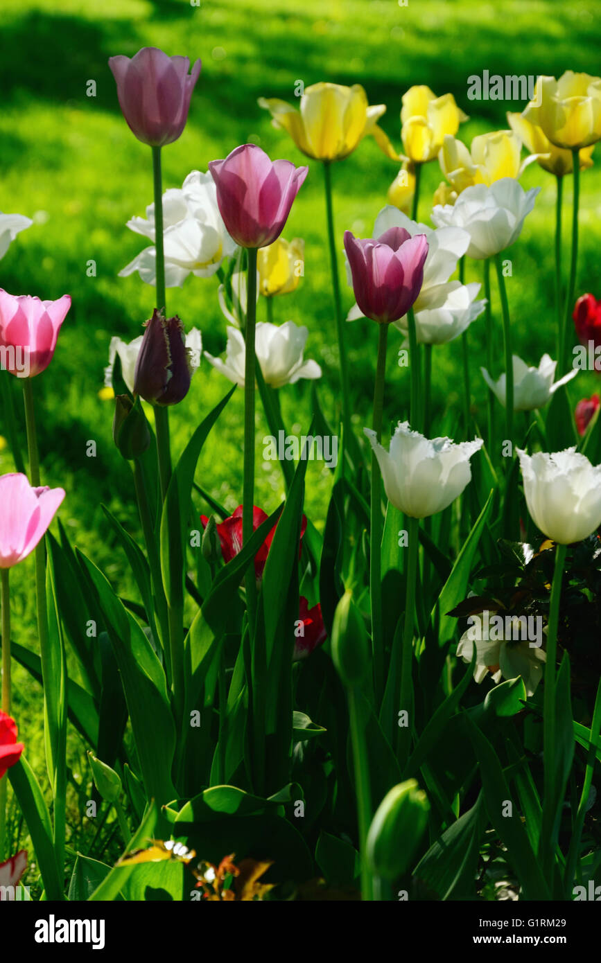 Yellow, White, and Purple Tulips Blooming against Green Grass Background - Stock Image