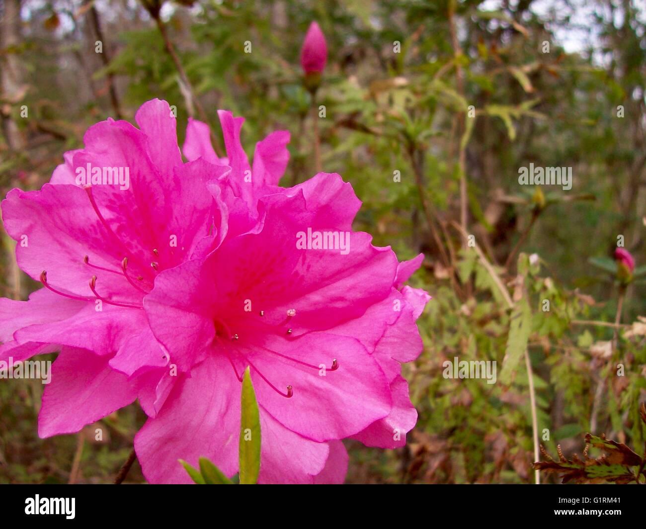 Cluster Of Pink Azalea Flowers Stock Photo 104397553 Alamy