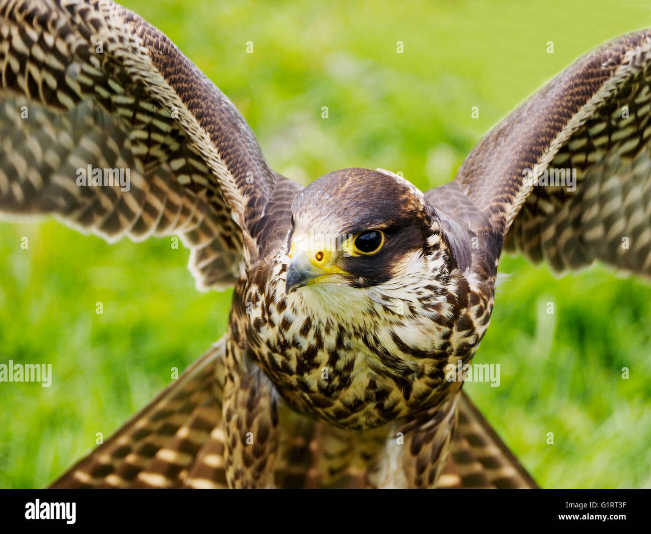 A captive Harris's Hawk (Parabuteo unicinctus) sometime called bay-winged hawk or dusky-wing hawk with wings - Stock Image
