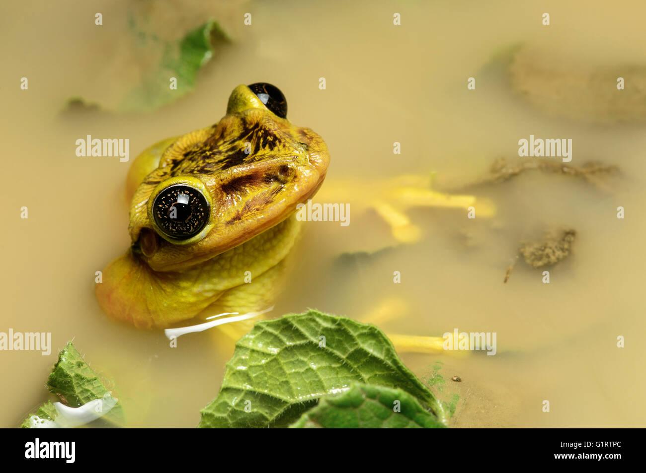Tree frog Trachycephalus jordani (Trachycephalus jordani), male in a pond, Jorupe Parkland, Ecuador - Stock Image
