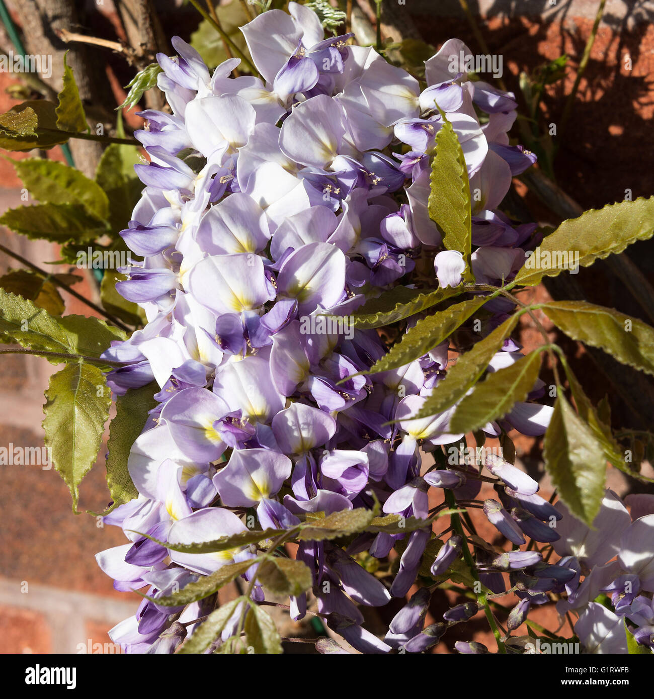 Blue and White Flower of a Wisteria Sinensis in a Cheshire Garden Alsager England United Kingdom UK - Stock Image
