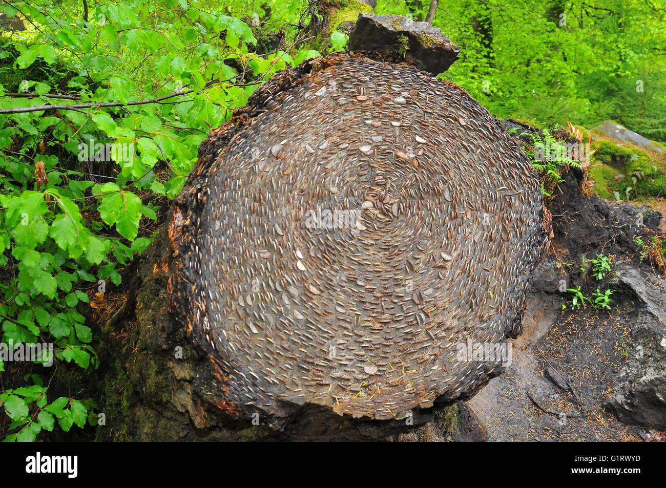 Wishing Tree: coins hammered into tree trunk for luck. The Hermitage, Dunkeld, Perthshire, Scotland - Stock Image