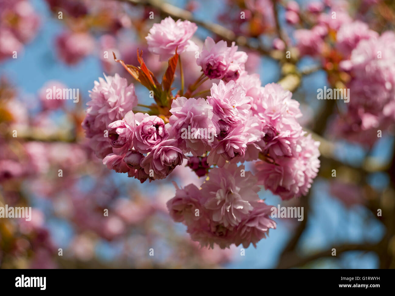 Pink Flowering Cherry Tree Blossom In Spring England Uk United Stock