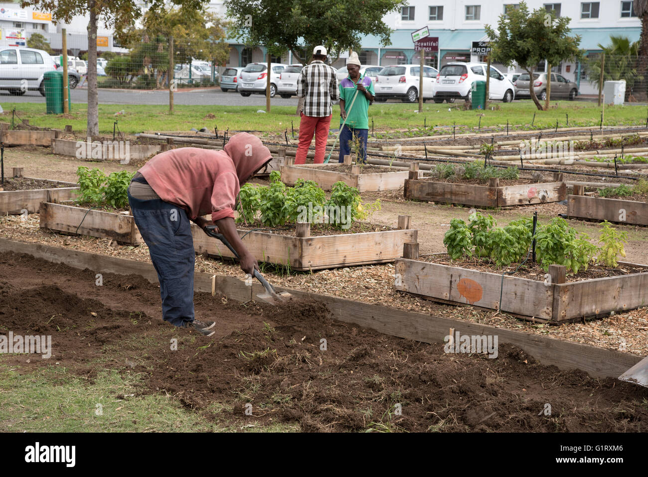 SOMERSET WEST WESTERN CAPE SOUTH AFRICA  Volunteers working in a community garden producing vegetables and salad produce Stock Photo