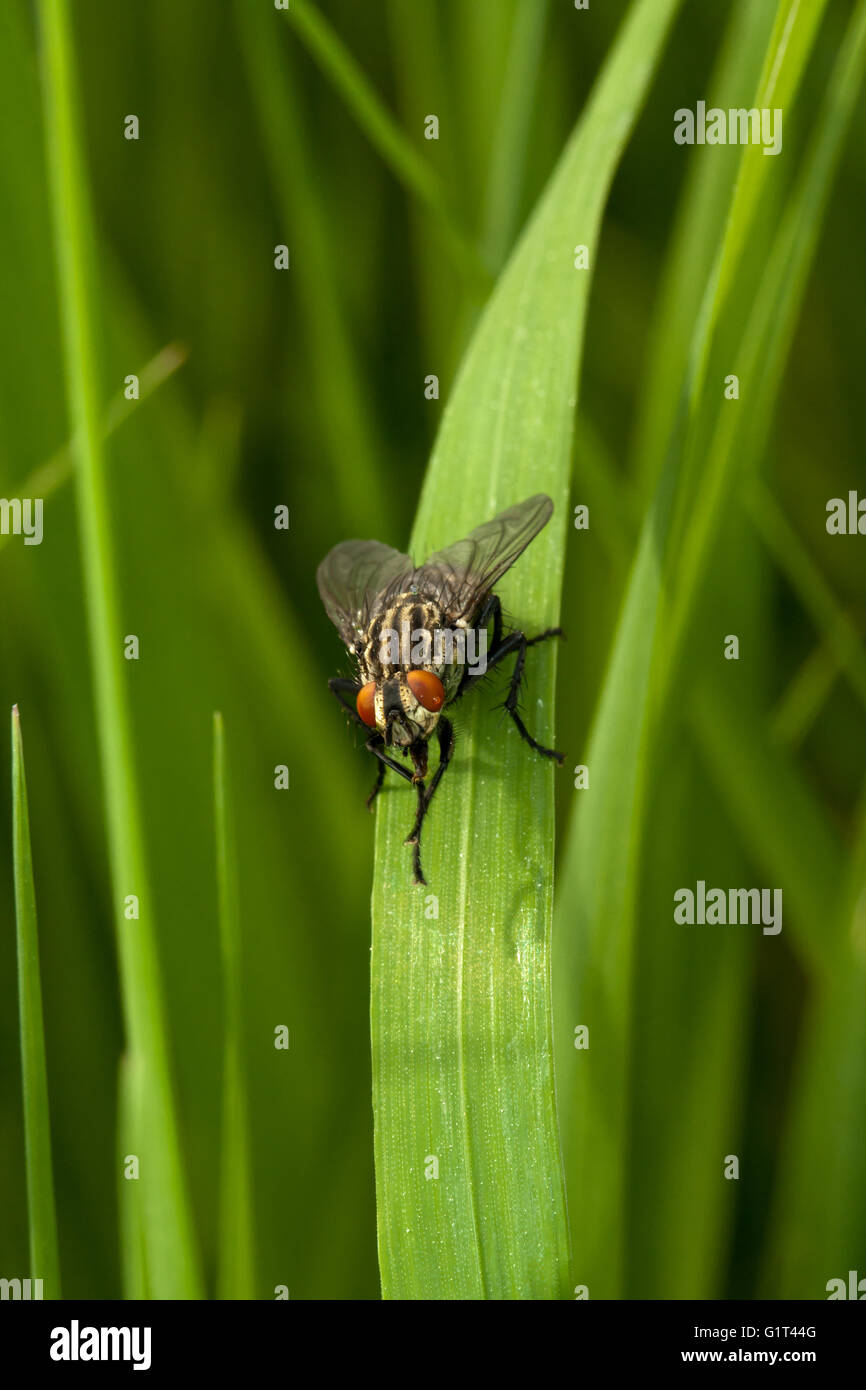 Fly sitting on the grass - Stock Image