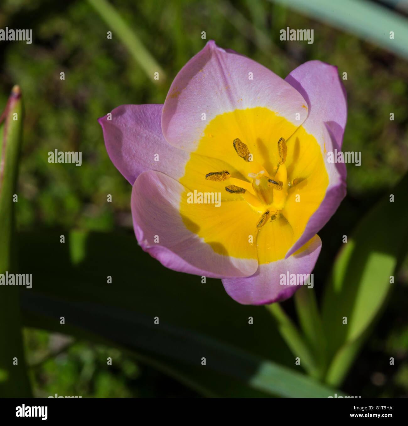 Kyrgystan mountain tulip close-up macro - Stock Image