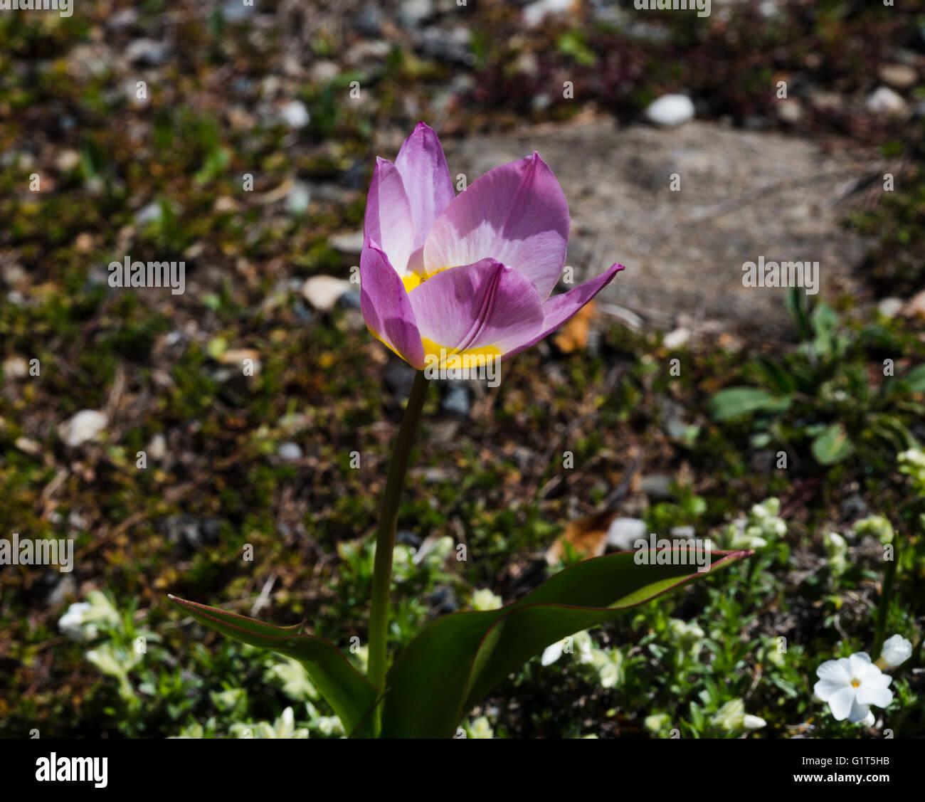 Kyrgystan mountain tulip - Stock Image