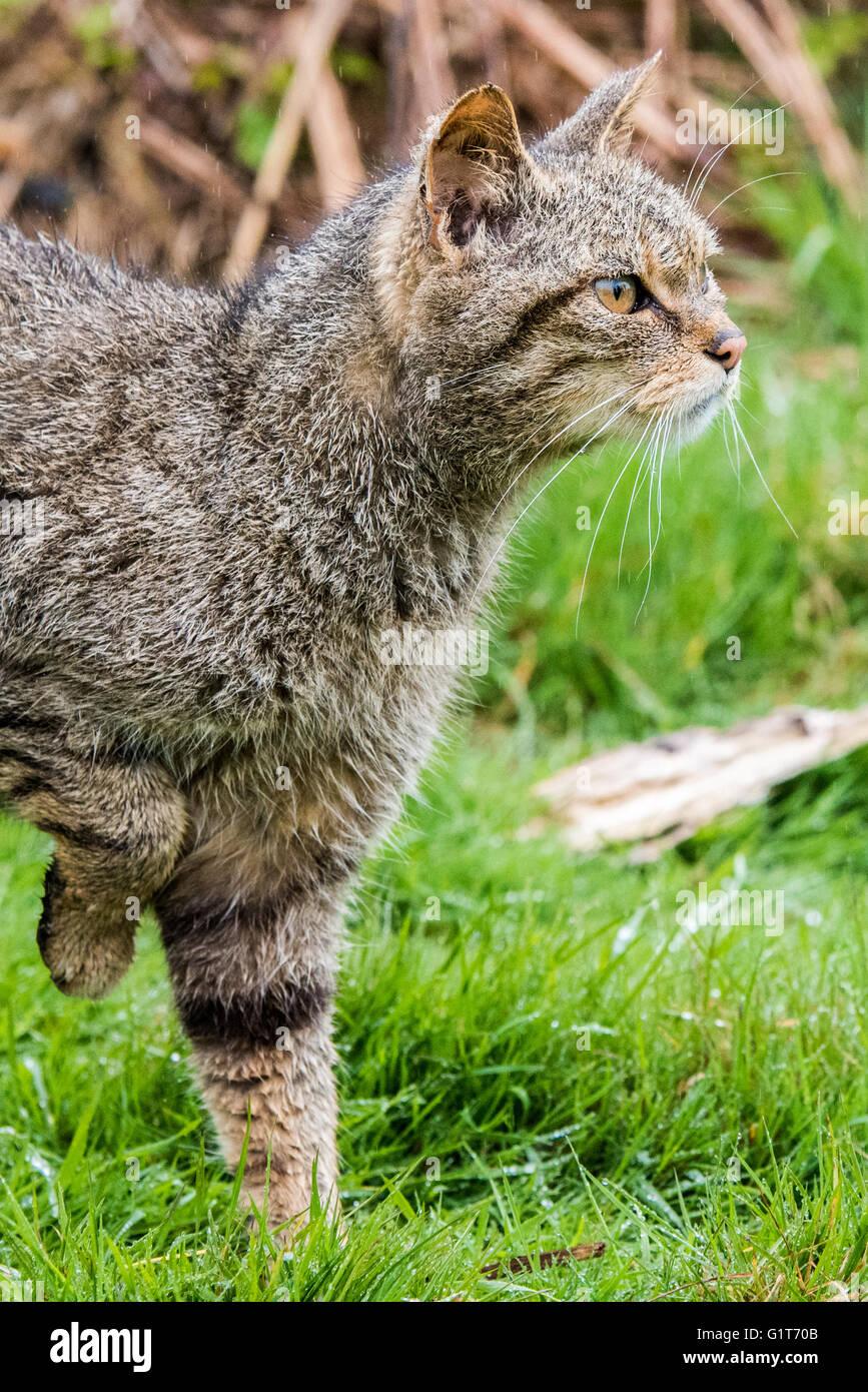 Scottish wild cat - Stock Image