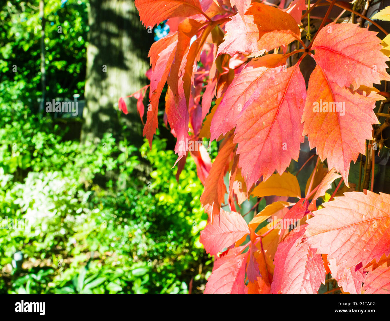 Glorious autumn colours of a Virginia Creeper caught in the late afternoon sun of a north London garden, UK. - Stock Image
