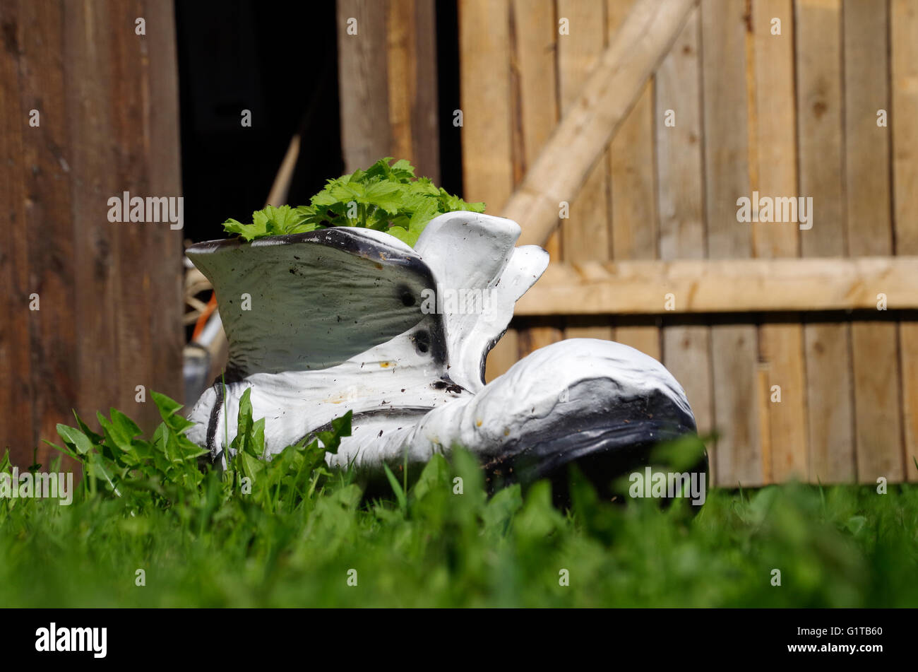 Boot shaped flowerpot in the grass in the background of wooden farm doors - Stock Image