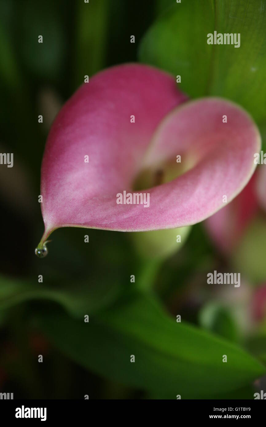 Close up of arum lily with water droplet - Stock Image