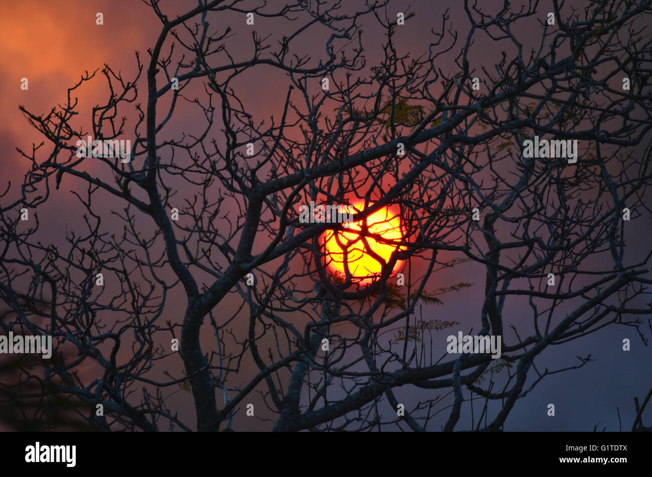 Fiery sun glowing through bushfire smoke behind a leaf less tree - Stock Image