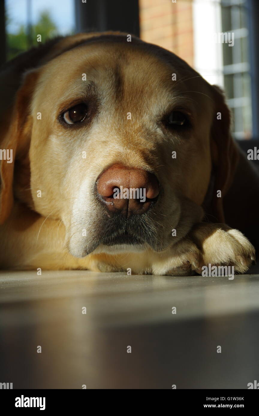 A Labrador resting after play - Stock Image
