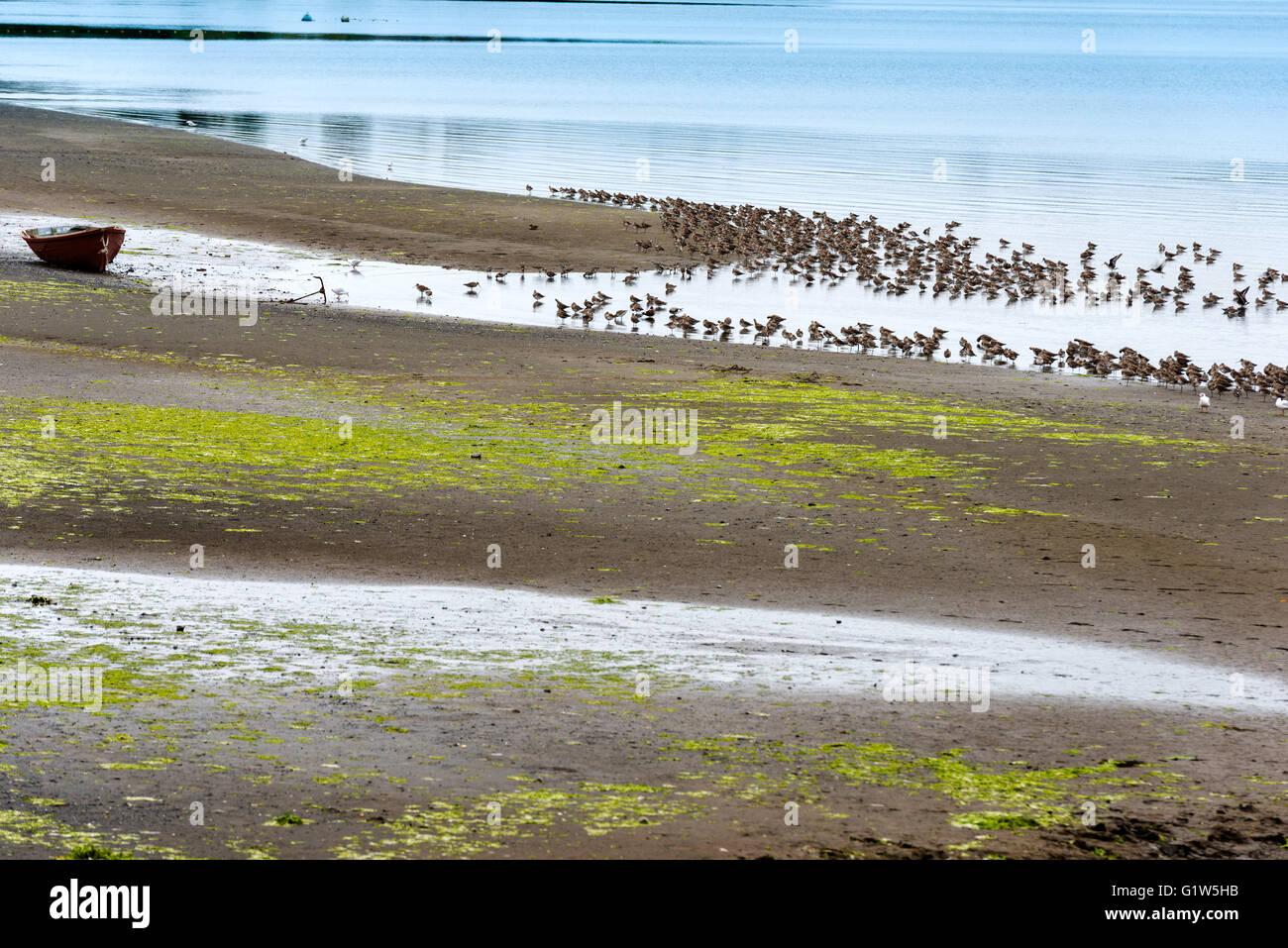 A colony of migratory beach birds in Curaco de Velez, Chiloe Island, Chile - Stock Image