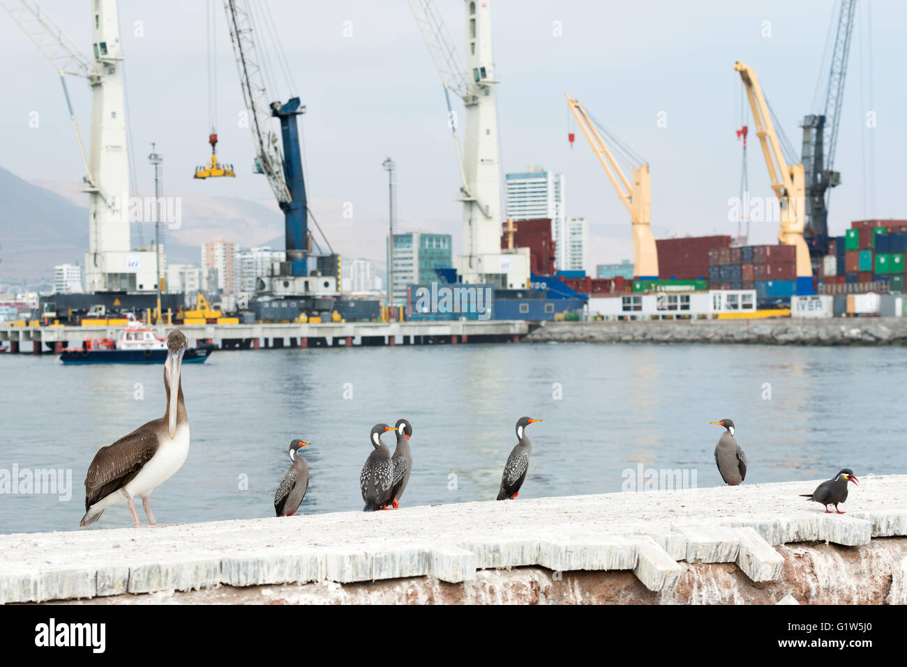 Tower cranes at the port of Iquique with autochthonous wild birds in the foreground, Iquique, Chile - Stock Image
