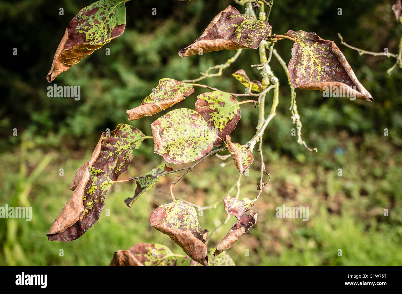 Signs of distress on leaves of Cydonia oblonga leading to reduced fruiting - Stock Image