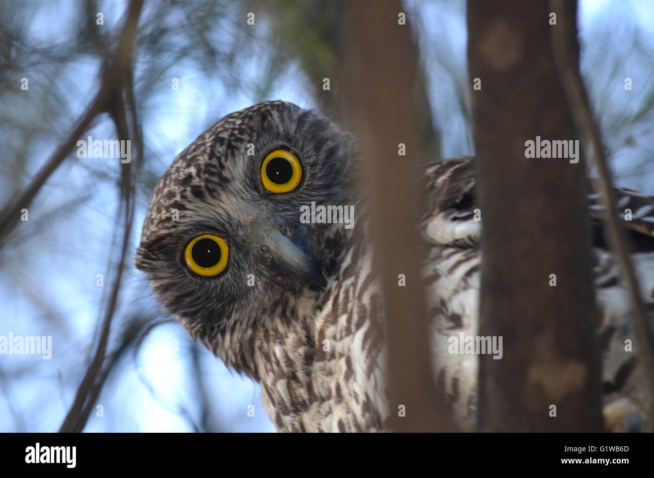 Curious Australian Powerful Owl, Ninox strenua, looking down from the tree tops in woodland in Royal National Park, - Stock Image