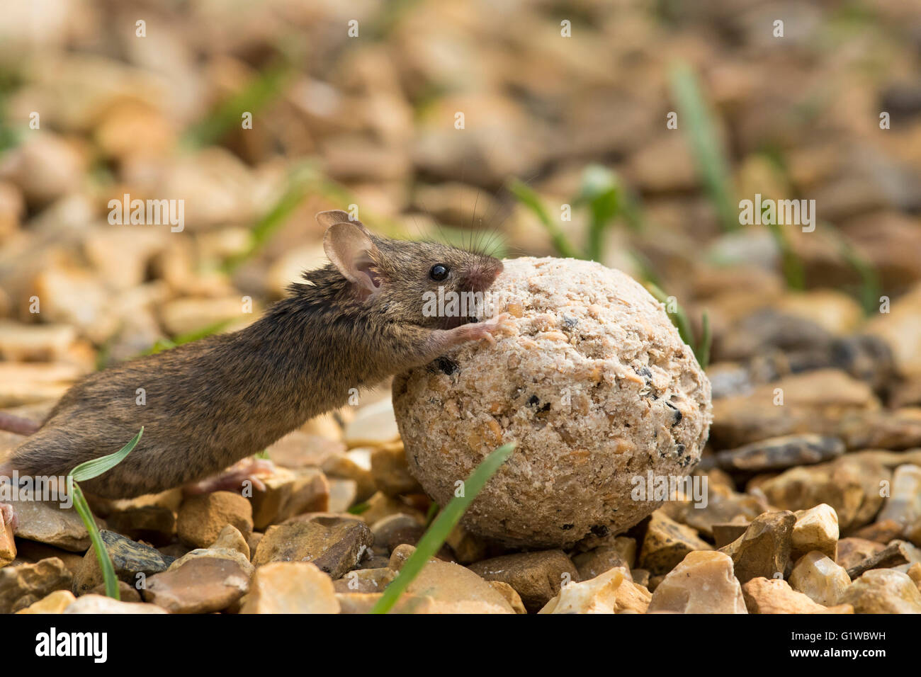 Mouse (Mus Musculus) on rear legs pushing fat-ball along gravel with blades of grass. day, side view UK garden - Stock Image