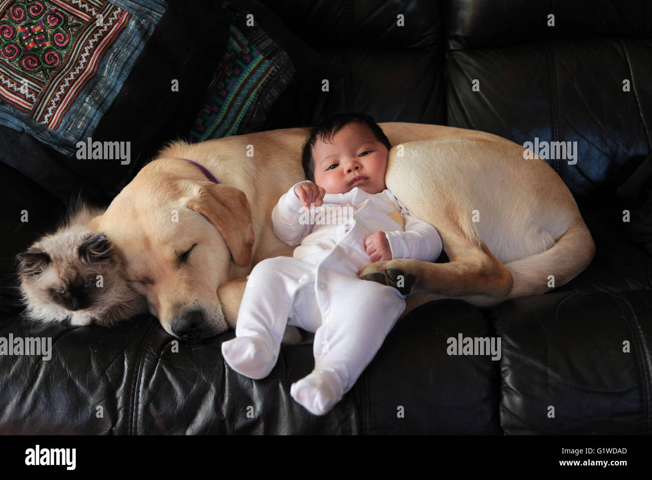 labrador puppy with baby and kitten stock photo 104436149 alamy