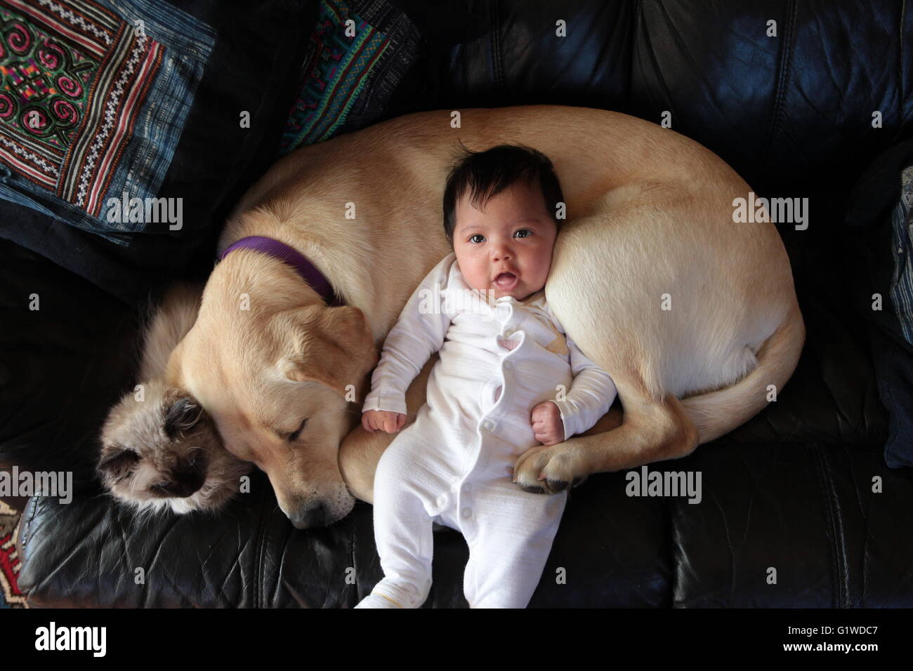 labrador puppy with baby and kitten stock photo 104436199 alamy